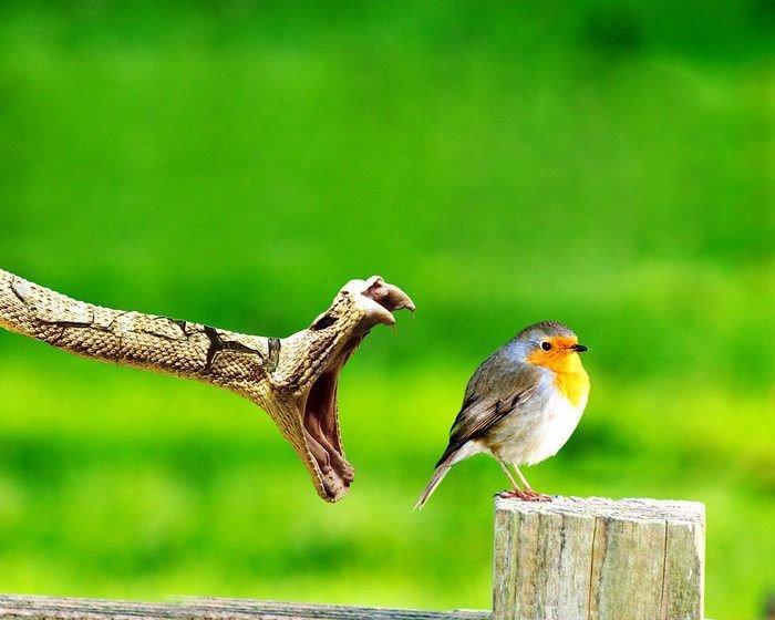 snake-Catches-bird